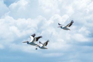 Pelikane im Flug